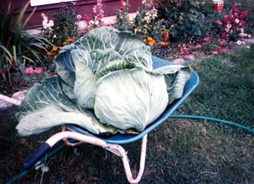 Cabbage in wheel barrow